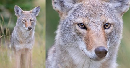 Behind the Shot: Coyote Closeup