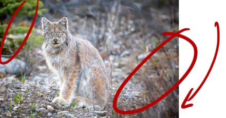 Photographing a Lynx on the Dempster Highway